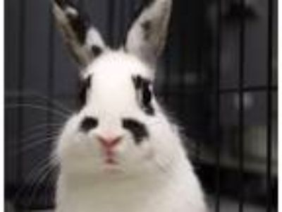 Adopt Ms Bunny a Other/Unknown / Mixed rabbit in Brooklyn, NY (25355292)