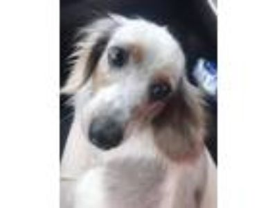 Adopt Cow Girl a Black - with Gray or Silver Dachshund / Mixed dog in Humble