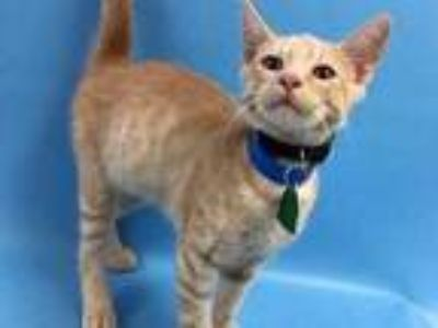 Adopt Simon a Tan or Fawn Domestic Shorthair / Mixed cat in St.