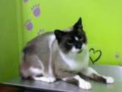 Adopt Magnar a Brown or Chocolate (Mostly) Siamese / Mixed (short coat) cat in