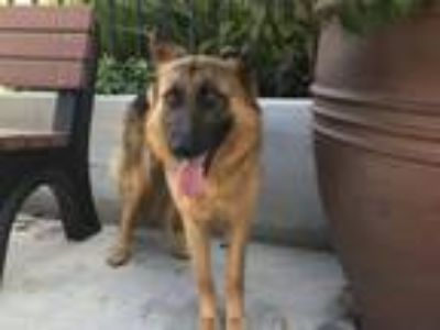 Adopt I1316399 a German Shepherd Dog