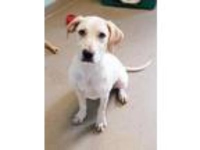 Adopt Maize a White Labrador Retriever / Hound (Unknown Type) / Mixed dog in