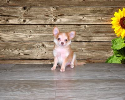 Gizmo is a Fawn Colored Chihuahua! www.PuppiesForSaleToday.com