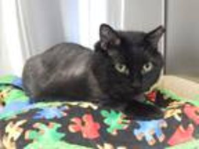 Adopt Feisty a All Black Domestic Longhair (long coat) cat in Mesquite