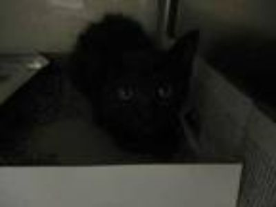 Adopt Barack a All Black Domestic Shorthair / Domestic Shorthair / Mixed cat in