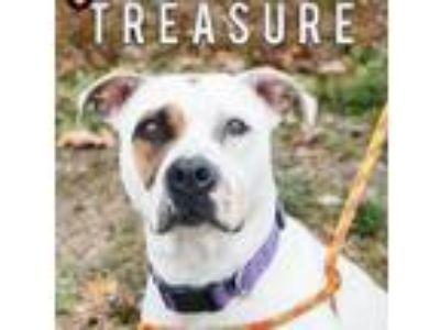 Adopt Treasure a Pit Bull Terrier