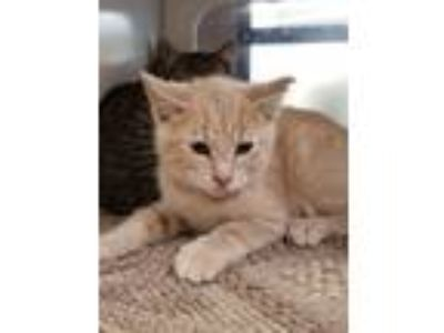 Adopt Barn Cat Zen a Domestic Short Hair