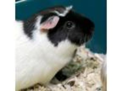 Adopt Stephanie a Brown or Chocolate Guinea Pig (short coat) small animal in