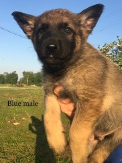 German Shepherd Dog PUPPY FOR SALE ADN-76411 - German Shepherd Pups