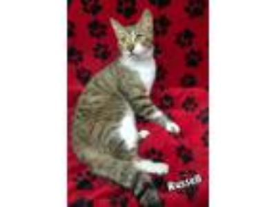 Adopt RUSSELL a American Shorthair
