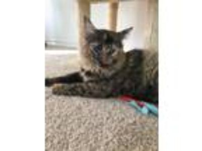 Adopt Amelia a Tortoiseshell Domestic Shorthair (short coat) cat in Arlington/Ft