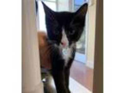Adopt Mickey a Domestic Shorthair / Mixed cat in Monterey, CA (25908482)