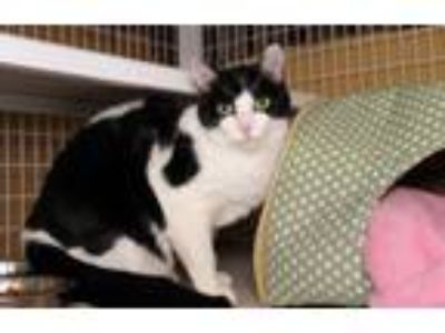 Adopt deleted record a Domestic Short Hair