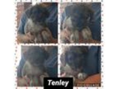 Adopt Tenley a Brown/Chocolate Poodle (Miniature) / Mixed dog in Ringwood