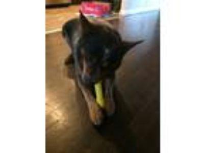 Adopt Jack a Gray/Blue/Silver/Salt & Pepper Australian Cattle Dog dog in
