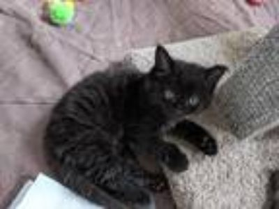 Adopt Ryan a All Black Domestic Mediumhair (medium coat) cat in Toms River