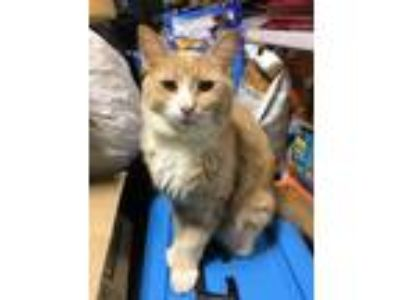 Adopt Oliver a Orange or Red Tabby Domestic Longhair (long coat) cat in Salem