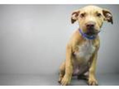 Adopt Rylo a Staffordshire Bull Terrier, Mixed Breed