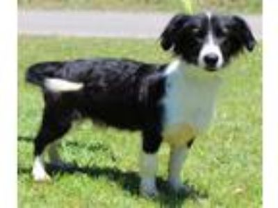 Adopt Dougy 28287 a Black - with White Border Collie / Mixed dog in Prattville