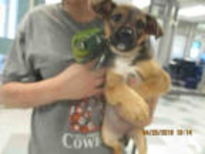 Adopt BABY GIRL a Brown/Chocolate - with White Labrador Retriever / Mixed dog in