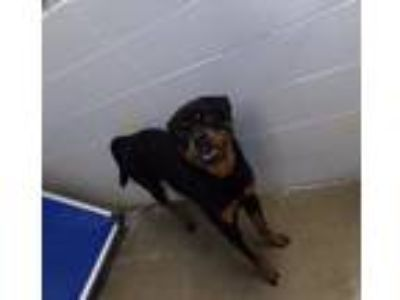 Adopt Vadar a Black - with Tan, Yellow or Fawn Rottweiler / Mixed dog in WILSON