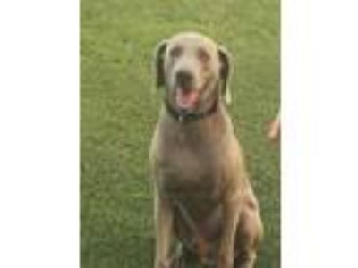 Adopt Tripp a Gray/Blue/Silver/Salt & Pepper Weimaraner / Mixed dog in Sunset