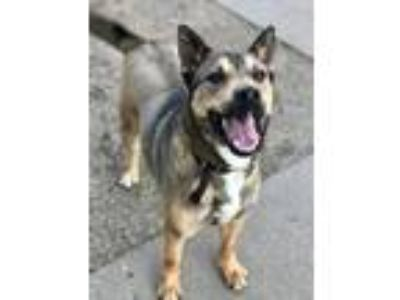 Adopt Charlie a German Shepherd Dog