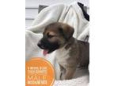 Adopt PEACH SCHNAPPS SOCIETY- A PEACH PUP-ADOPTION PENDING a German Shepherd Dog