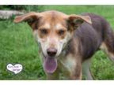 Adopt Founder a Brown/Chocolate - with Tan Shepherd (Unknown Type) / Husky /