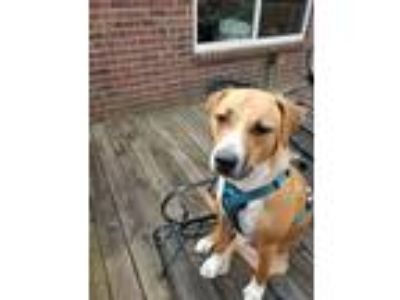 Adopt Abby a Tan/Yellow/Fawn - with White Black Mouth Cur / Mixed dog in