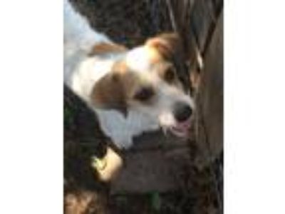 Adopt Launie a White - with Tan, Yellow or Fawn Wirehaired Fox Terrier / Mixed