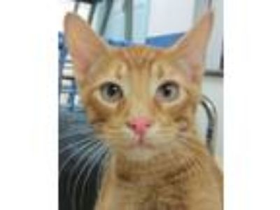 Adopt Russet a Domestic Short Hair
