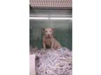Adopt MADONNA a White American Pit Bull Terrier / Mixed dog in Mayfield