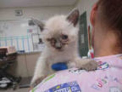 Adopt YY-5 a Brown or Chocolate (Mostly) Siamese / Mixed (short coat) cat in