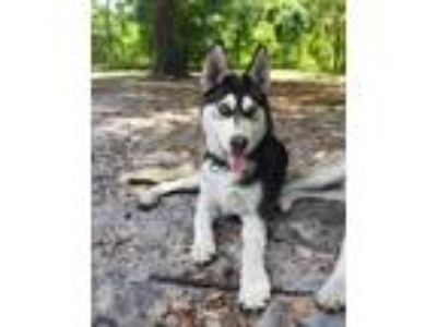 Adopt Kodiak a Black - with White Siberian Husky / Mixed dog in Winter Springs
