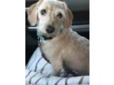 Adopt Buddy a Tan/Yellow/Fawn Dachshund / Mixed dog in Rancho Santa Fe
