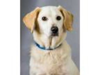 Adopt Zoey a Tan/Yellow/Fawn Labrador Retriever / Mixed dog in Chesapeake