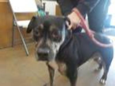 Adopt HULK a Black Catahoula Leopard Dog / Rottweiler / Mixed dog in Temple