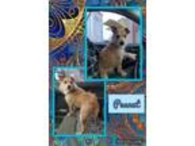 Adopt Peanut a Tan/Yellow/Fawn Australian Terrier / Mixed dog in Fort Wayne