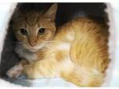 Adopt 29964 - Punkin'Head a Domestic Shorthair / Mixed cat in Ellicott City