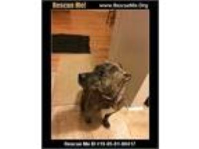 Adopt CoCo Chanel a Brindle American Pit Bull Terrier / Hound (Unknown Type) dog