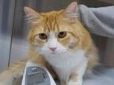 Adopt BACON a Orange or Red Norwegian Forest Cat / Mixed (long coat) cat in