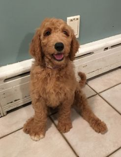 Goldendoodle PUPPY FOR SALE ADN-101057 - Goldendoodle Puppies Ready for their Forever Homes