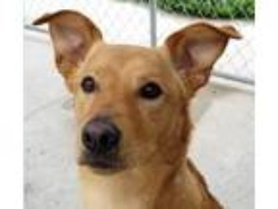 Adopt Dino a Greyhound, Golden Retriever