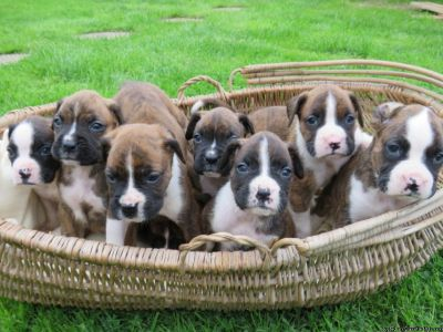 4 Gorgeous Litter Of Brindle Boxer Pups For Sale
