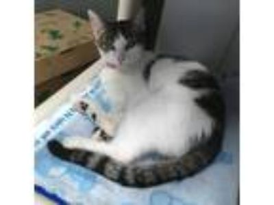Adopt PRECIOUS a Brown Tabby Domestic Shorthair / Mixed (short coat) cat in