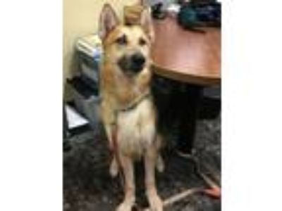 Adopt Vance-I1921 a German Shepherd Dog