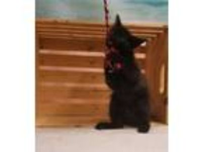 Adopt FELIX a All Black Domestic Mediumhair / Domestic Shorthair / Mixed cat in