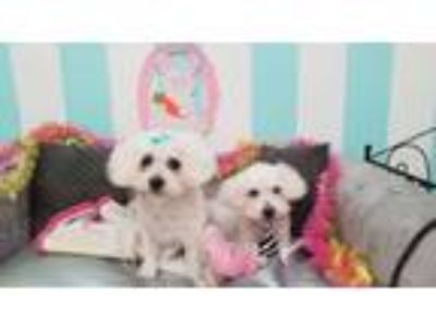 Adopt Romeo & Juliet a Poodle