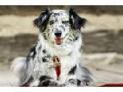 Adopt Sage a White - with Black Australian Shepherd / Mixed dog in St.